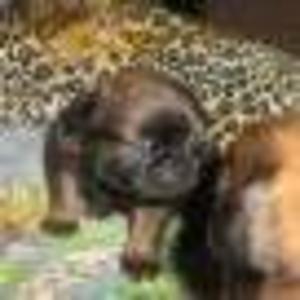 Продаётся щенок пти брабансона