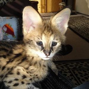 сервала,  оцелот,  каракал и Саванна котята Продажа цена питомца.
